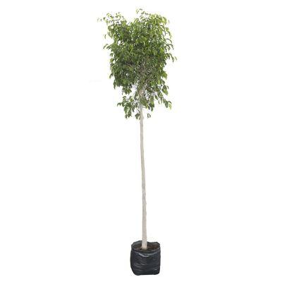 Planta ficus bola