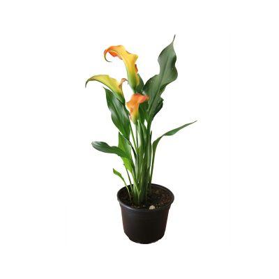 """Planta natural alcatraz de color(cala lily) m6"""""""