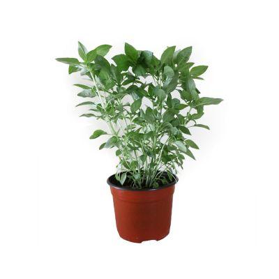 """Planta albahaca verde m6"""""""