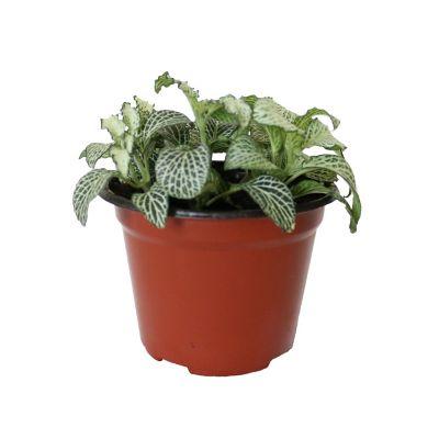 """Planta fitonia colores m5"""""""