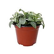 Planta fitonia colores m5