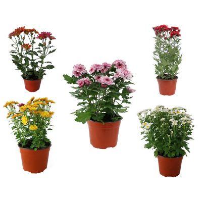 """Planta crisantemo colores m6"""""""