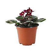 Planta violeta africana m4