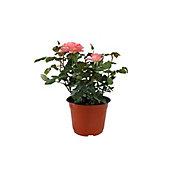 Planta rosa coster colores m6