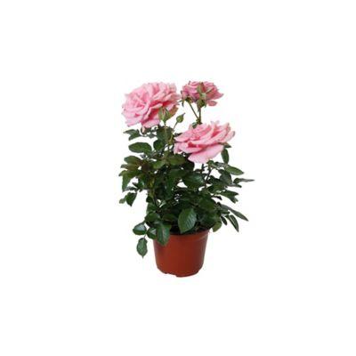 "Planta rosa forever colores m6"""