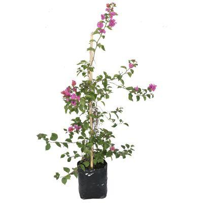 Planta bugambilia vara b20