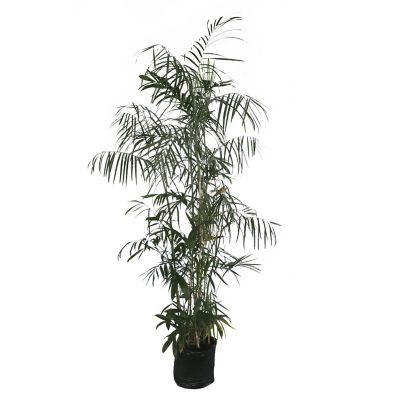 Planta palma bambu b15l