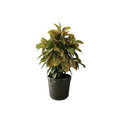 Planta croto petra gigante 15g