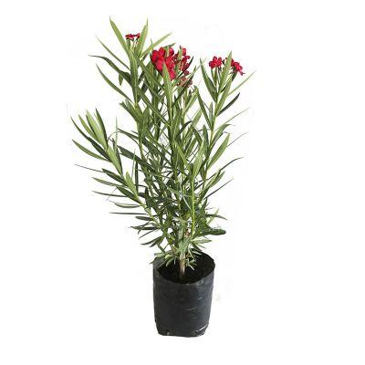 Planta adelfa enana b10