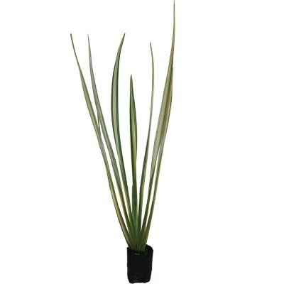 Planta forneo variegado b06