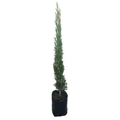 Planta cipres b02