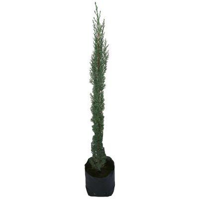Planta cipres b06
