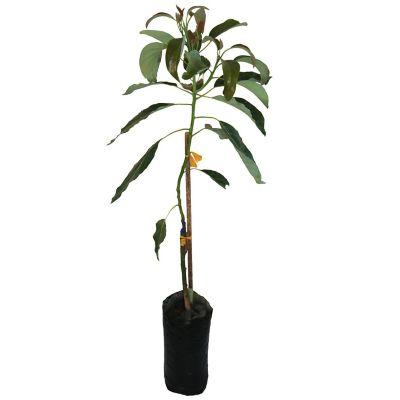 Planta aguacate hass b08