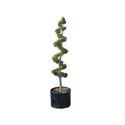Planta ficus formas tina
