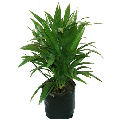 Planta palma estrella b08