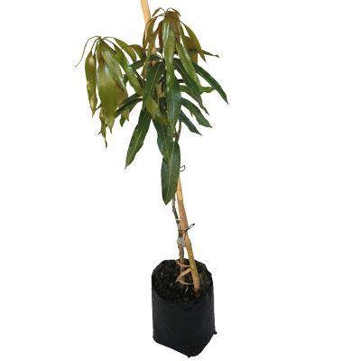 Planta mango petacon b10