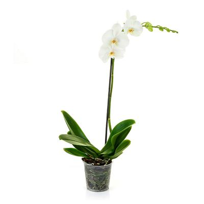Orquídea Phalaenopsis 5¿¿