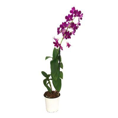 Dendrobium Sa-Nook 5¿¿
