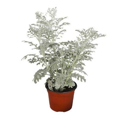 Planta dusty miller m6