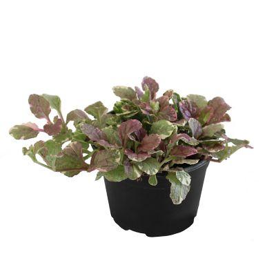 Planta ayube variegado m6