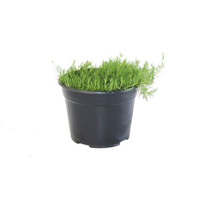 Planta pasto coreano m6