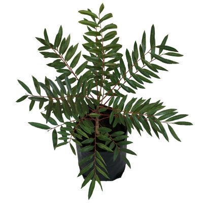 Planta pistache b03