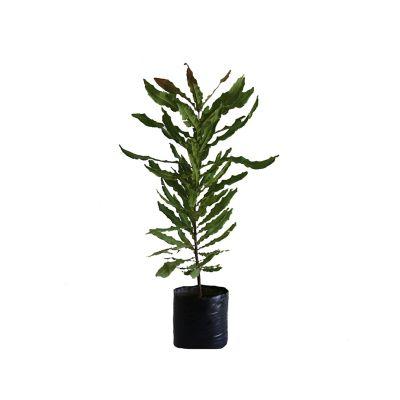 Planta nuez de macadamia b08