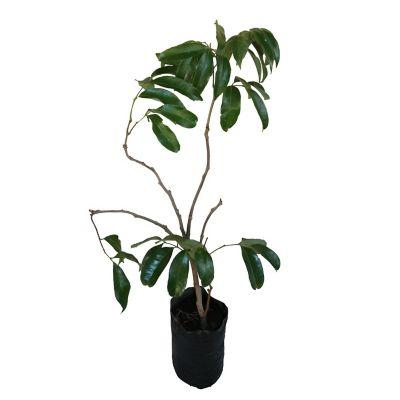 Planta lichi b03