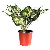 Planta con Maceta Hojiverde